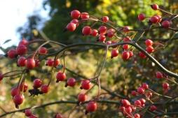 wild-rosehips-autumn